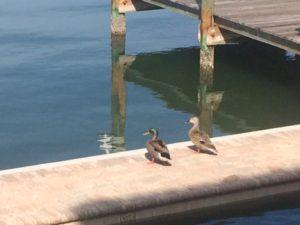 ducks by water